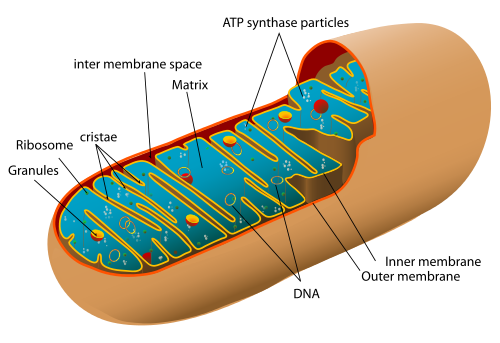 Animal_mitochondrion_diagram_en