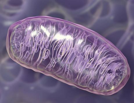 Mitochondria3_461