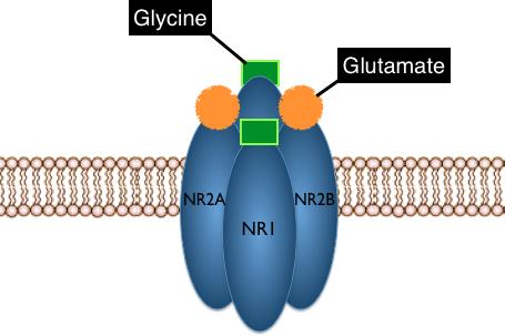 NMDAR subunits