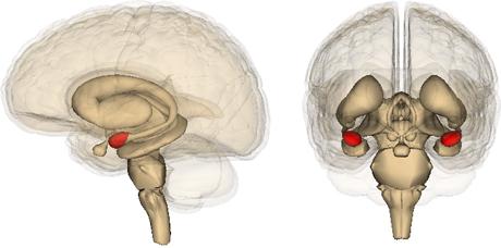 Amygdala copy small
