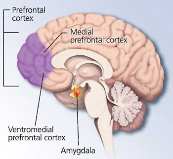 amygdala_and_medial_prefrontal_cortex_vmpfc