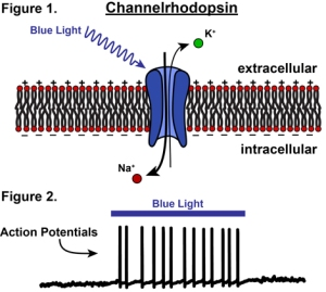 Channelrhodopsin by Knowing Neurons