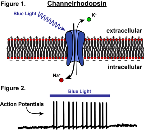 channelrhodopsin