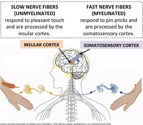 Fast vs Slow-conducting fibers