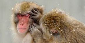 Social Grooming: It's not just for monkeys and prairievoles!