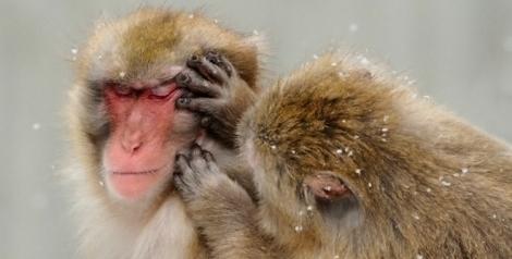 MonkeysGrooming_750