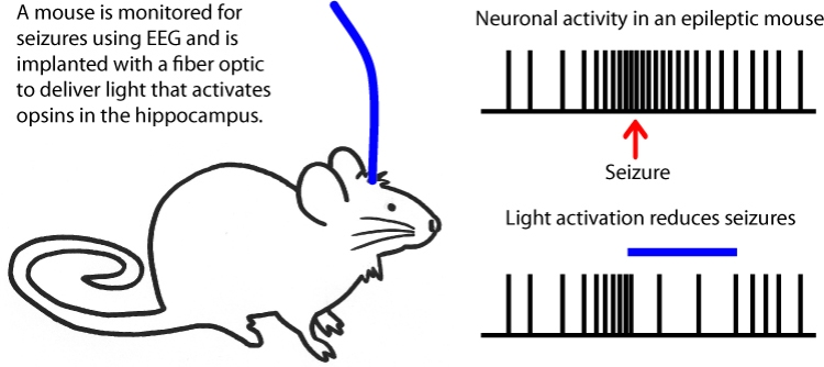 Mouse Seizure Optogenetics