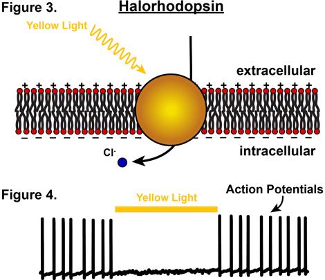 halorhodopsin