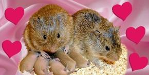 Why Prairie Voles Fall in Love: A ChemicalRomance