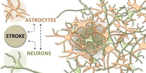 Stroke-Astrocytes2