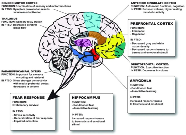 Interactions between the amygdala and the hippocampus and prefrontal cortex helps explain increased fear responses in individuals with PTSD [3]