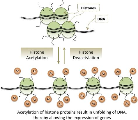 Epigenetics_Histone_750