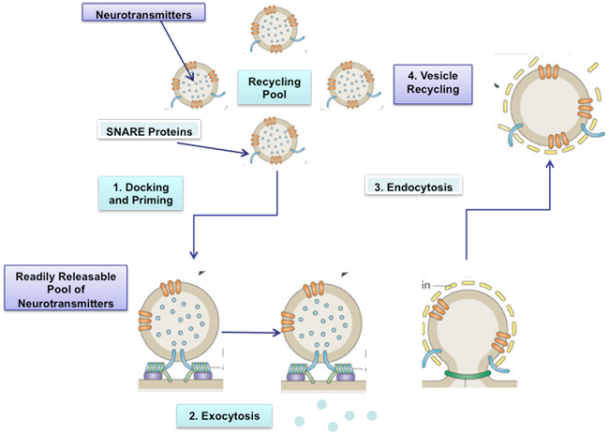 Docked and primed synaptic vesicles make up the readily releasable pool. Following calcium influx they undergo exocytosis and release neurotransmitters into the synaptic cleft. The neurotransmitters can activate post-synaptic receptors. Endocytosis is the process that enables synaptic vesicles to return to the recycling pool. Image adapted from Haucke et al., 2011 [3].