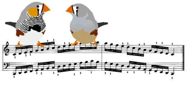 Songbird, Zebra Finch, Bird, Learning, Sing, Knowing Neurons, Michael Condro,