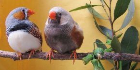What Can Songbirds Teach Us AboutOurselves?