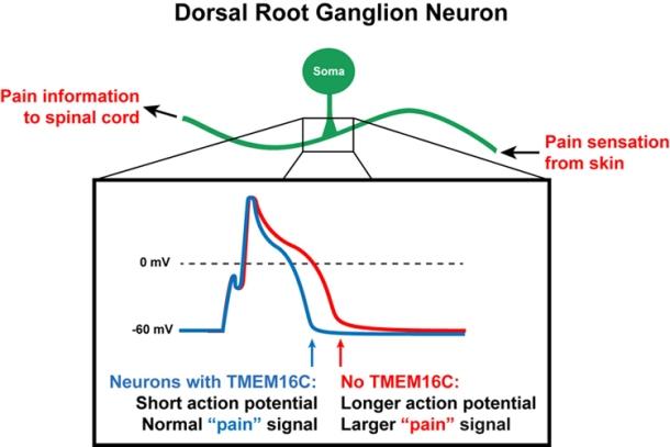 Dorsal Root Ganglion Neuron Knowing Neurons Ryan Jones Action Potential TMEM16C