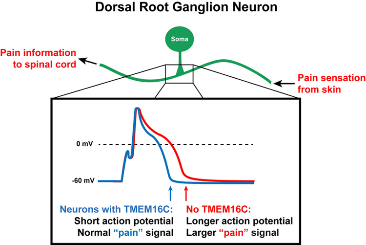 Dorsal Root Ganglion Neuron Knowing Neurons Ryan Jones Action Potential TMEM16C