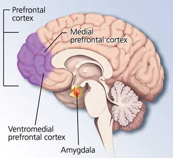 Amygdala and ventromedial prefrontal cortex via Knowing Neurons