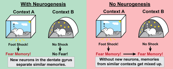 Contextual Fear Conditioning Knowing Neurons