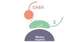 Smooth Move: How GABAergic Interneurons Regulate Skilled MotorBehavior