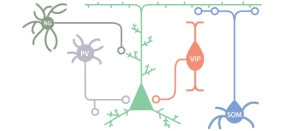 Inhibitory Neurons: Keeping the Brain's Traffic inCheck