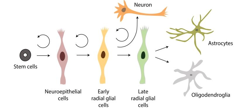 NeuralStemCells