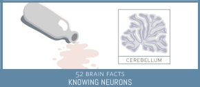Myth or Fact? The brain region with the most neurons is responsible for motor coordination.