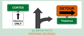 Myth or Fact? All human senses take the most direct route possible from sensory neurons to thecortex.